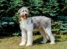 Cara completa de Dog do pastor romeno Imagens de Stock