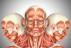 a cara 3d masculina Muscles a anatomia com vistas laterais Fotografia de Stock Royalty Free