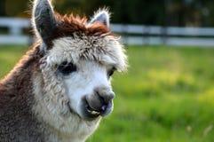 Cara da alpaca Imagem de Stock