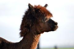 Cara da alpaca Foto de Stock Royalty Free
