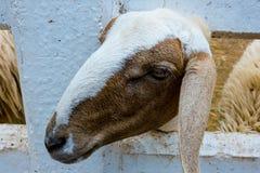 Cara da cabra do close-up Foto de Stock