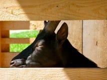 Cara da cabra entre a barra de madeira Imagens de Stock