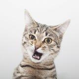 Cara da careta do gato Retrato da contração muscular do gatinho Imagem de Stock Royalty Free