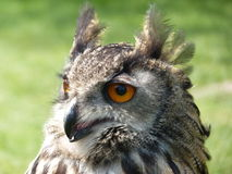 Cara da coruja de águia Imagens de Stock Royalty Free