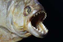 Cara da piranha Foto de Stock