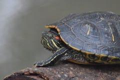 A cara da tartaruga é tão bonita Fotos de Stock