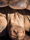 Cara da tartaruga de Galápagos Foto de Stock Royalty Free