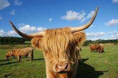 Cara da vaca das montanhas na exploração agrícola no scottland Fotografia de Stock