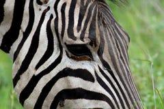 Cara da zebra Fotografia de Stock