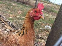 Cara das galinhas Imagem de Stock