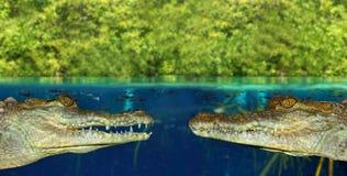 Cara de dos cocodrilos en pantano del mangle Fotos de archivo