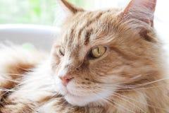Cara de Ginger Maine Coon Cat Looking al lado Foto de archivo libre de regalías