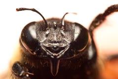 Cara de la abeja Fotografía de archivo