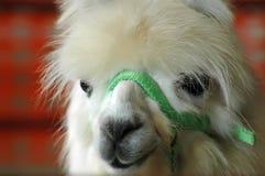 Cara de la alpaca imagen de archivo