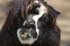 Cara de la alpaca fotografía de archivo