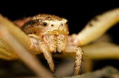 Cara de la araña Fotografía de archivo libre de regalías