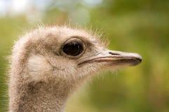 Cara de la avestruz Imagen de archivo