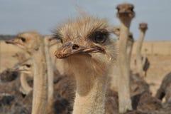 Cara de la avestruz Imagen de archivo libre de regalías