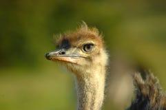 Cara de la avestruz Fotos de archivo