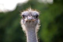 Cara de la avestruz Foto de archivo