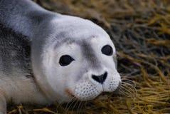 Cara de la cría de foca Fotos de archivo