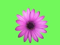 Cara de la flor en verde foto de archivo