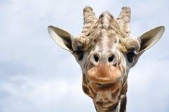 Cara de la jirafa Foto de archivo