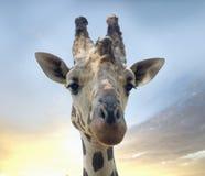 Cara de la jirafa Fotos de archivo libres de regalías