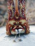 Cara de la langosta espinosa Imagen de archivo libre de regalías