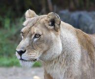Cara de la leona dejada Imágenes de archivo libres de regalías