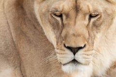Cara de la leona foto de archivo libre de regalías