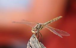 Cara de la libélula Imagenes de archivo