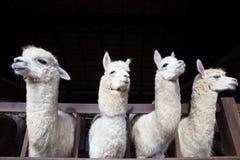 Cara de la llama divertida de cuatro alpacas en granja Foto de archivo libre de regalías