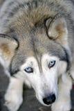 Cara de la pista de perro encendido Fotografía de archivo