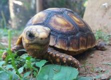 Cara 2 de la tortuga Foto de archivo libre de regalías