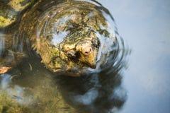 Cara de la tortuga de rotura Imagenes de archivo