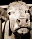 Cara de la vaca fotografía de archivo libre de regalías