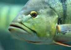 Cara de los pescados Foto de archivo
