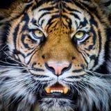 Cara de los tigres Foto de archivo