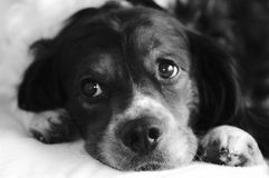 Cara de mentira del dulce del perro Imagen de archivo