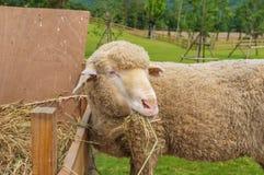 Cara de ovejas Fotografía de archivo libre de regalías
