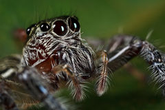 Cara de salto de la araña Foto de archivo libre de regalías