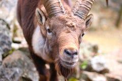 Cara de um íbex masculino, cabra alpina suíça foto de stock