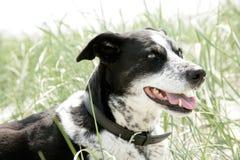 Cara de um cão Imagens de Stock
