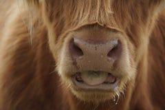 Cara de um Galloway Fotografia de Stock