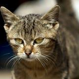 Cara de um gato com olhos amarelos Imagens de Stock