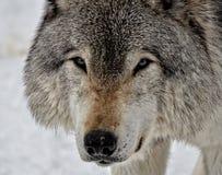 Cara de um lobo de madeira Foto de Stock