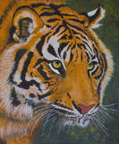 Cara de um tigre fotos de stock