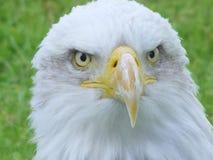 Cara de un águila en negrilla Imágenes de archivo libres de regalías