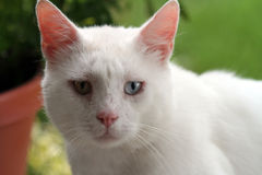 Cara de un gato blanco Imagen de archivo